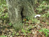 The mark is in good condition, although the tree is dying and was covered with gypsy moth caterpillars.