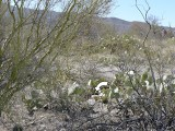 The mark was difficult to find in this jumble of cactus and palo verde.