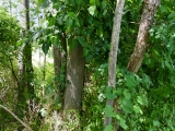 Enormous poison ivy!